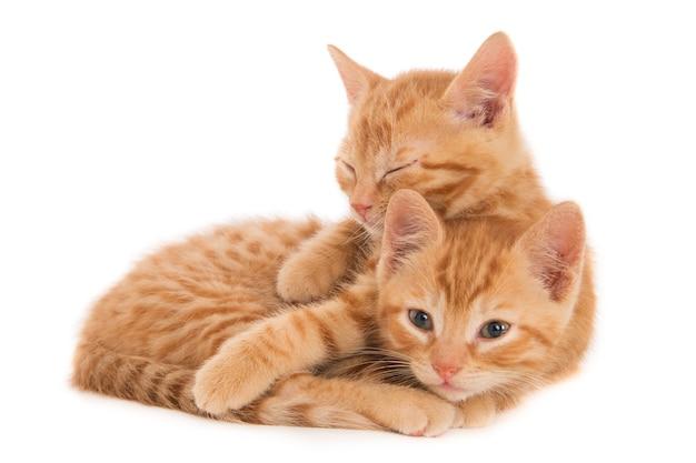 親密なポーズで2匹の生姜子猫。