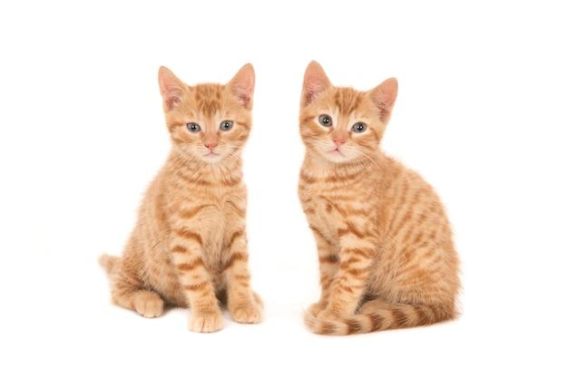 나란히 앉아 두 생강 고양이