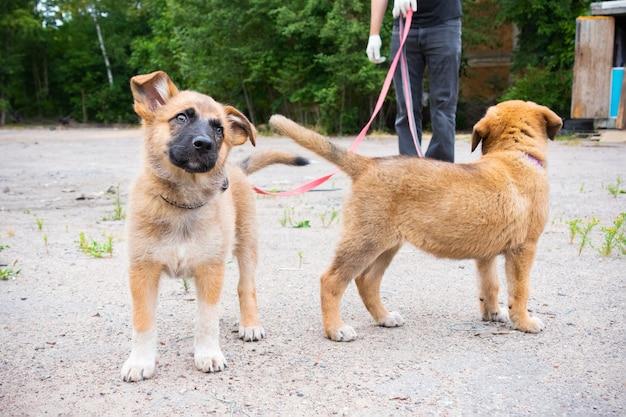 夏に屋外のひもにつないで歩く2匹の生姜の子犬
