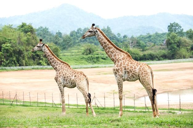Two giraffe in the field