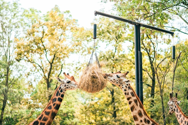 Two giraffes eat hay in the zoo.