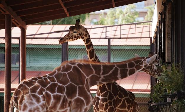 Два жирафа в зоопарке