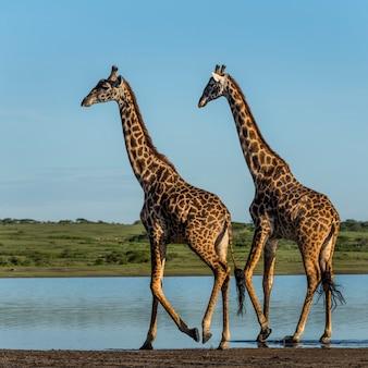 タンザニア、セレンゲティの川沿いを歩く2頭のキリン