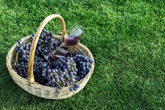 Two glasses of red wine in basket of fresh grapes harvest on lawn, green grass outside.