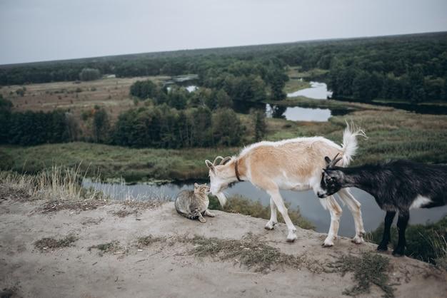 Две козы и кошка на природе