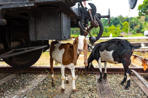 두 마리의 염소가 철도 근처에서 풀을 뜯고 있습니다. 철도에서 동물과의 사고.