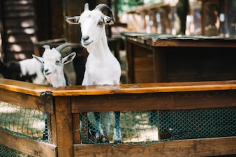Two goats peeking out from the fence