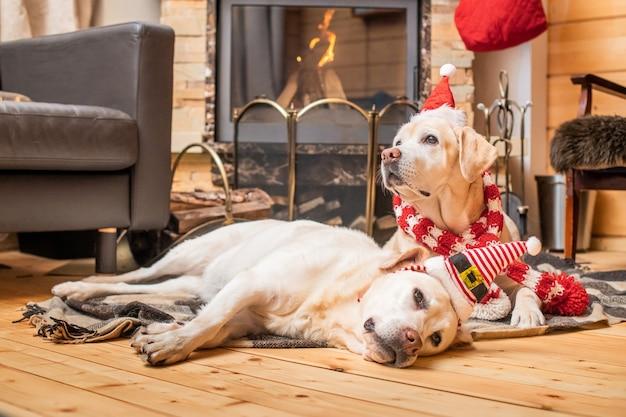 クリスマスキャップの2つのゴールデンラブラドールレトリバーは、燃える暖炉の近くの木造住宅の毛布の上に横たわっています