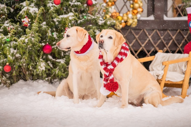 Two golden labradors in scarves sit near a decorated christmas tree during a snowfall in winter in the courtyard of an apartment building.