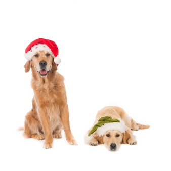 Two golden retriever dogs with christmas hats against a white background