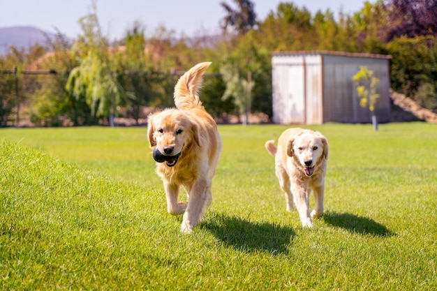 Two golden retriever running on grass with a toy enjoying a sunny day