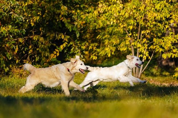 가을 공원에서 서로 즐겁게 달리는 두 마리의 골든 리트리버