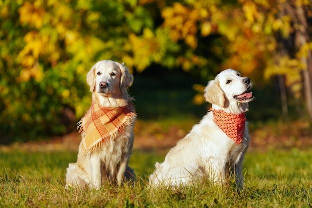 明るいバンダナの2つのゴールデンレトリバーが秋のドッグパークに座っています