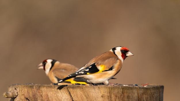 冬の庭の鳥の餌箱に2匹のゴシキヒワcardueliscarduelis。