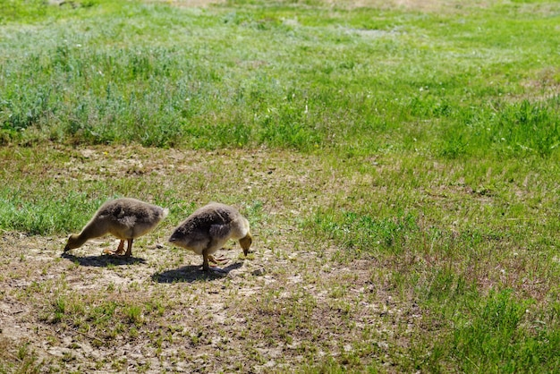 晴れた夏の日に2匹のゴスリングが緑の芝生で放牧写真は田舎のロシアで撮影されました
