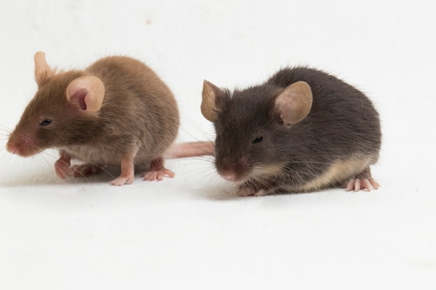 Two gray black common house mouse isolated