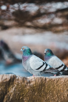 Two gray-blue-and-black pigeons