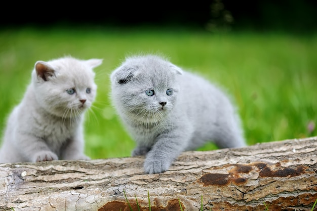 自然の上の2匹の灰色の子猫。木の上のかわいい子猫