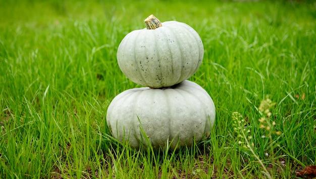 緑の草の背景に2つの灰色のカボチャ。自分の収穫。