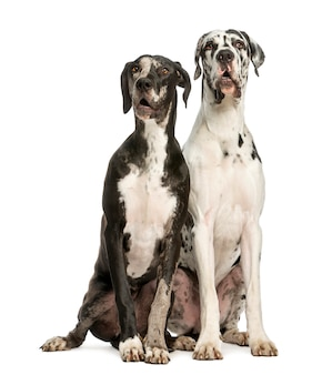 Two great danes sitting and looking away