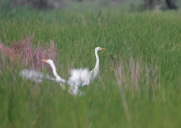 Two great egret (ardea alba) feed on a pond overgrown with aquatic grass. one of the birds flies away
