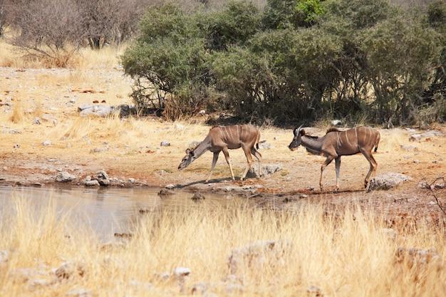 아프리카 나미비아의 etosha 국립 공원에있는 두 개의 큰 kudu 영양 (tragelaphus strepsiceros).