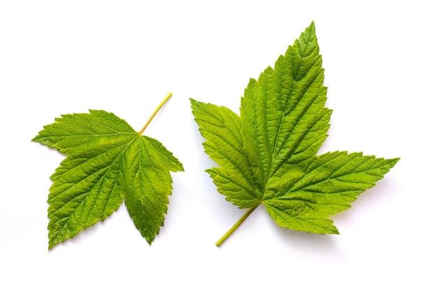 2つの緑の明るいスグリの葉