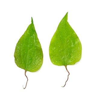 Два зеленых листа клематиса, изолированные на белой поверхности, вид сверху