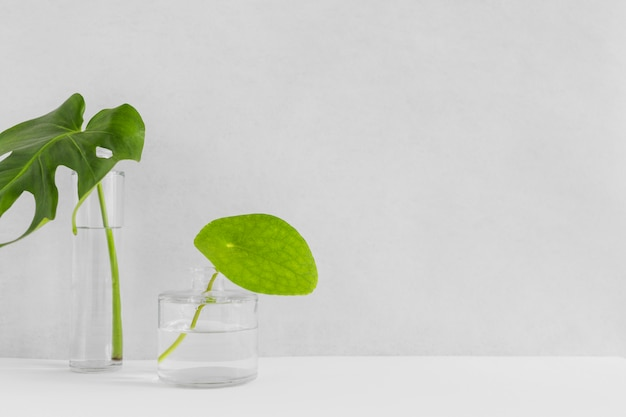 Two green leaves in the different glass vase with water against backdrop
