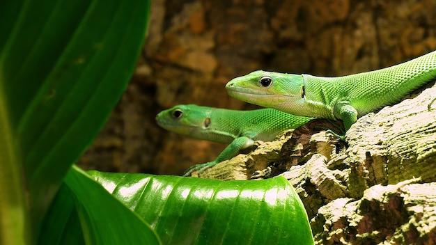 두 개의 녹색 도마뱀