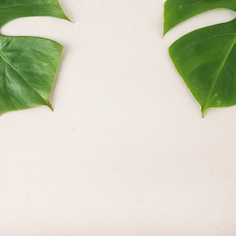 Two green Monstera leaves