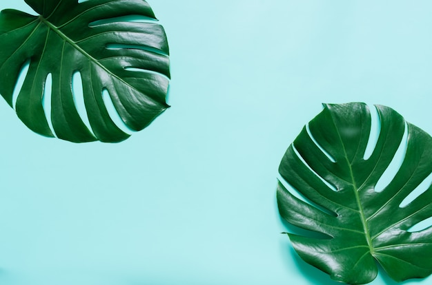 Two green monstera tropical leaves frame on light cyan blue background. empty space for copy, text, lettering.