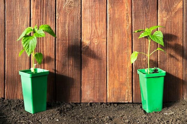 나무 벽에 바닥에 냄비에 두 개의 녹색 고추 식물.