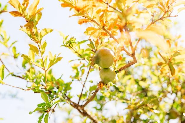 Два зеленых плода граната на ветке дерева