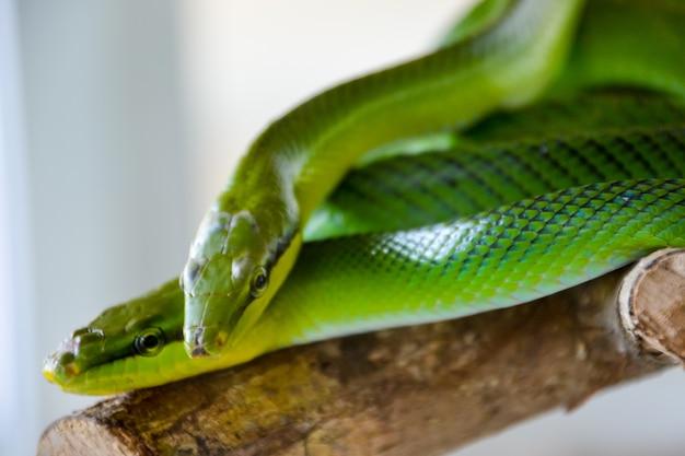 두 개의 녹색 뱀: 붉은 꼬리 녹색 쥐뱀(gonyosoma oxycephalum, 수목 쥐뱀 및 붉은 꼬리 경주자라고도 함).