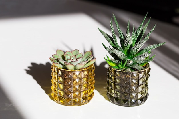 Two green succulents in glass pots