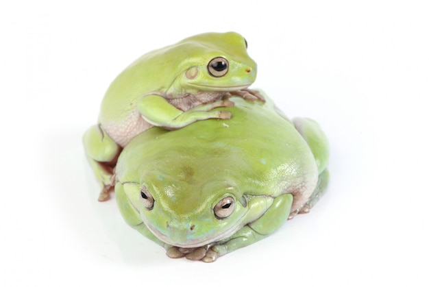 Two green tree frogs