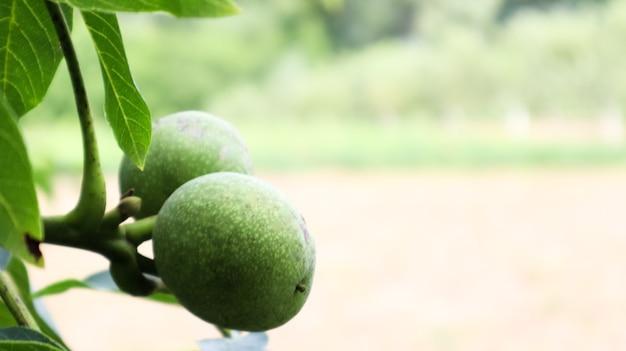 自然の庭や園芸農場で夏に葉に囲まれた木の枝に2つの緑の未熟なクルミ。