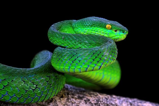 2つの緑の毒蛇のヘビのクローズアップ緑のアルボラリスのヘビの正面図