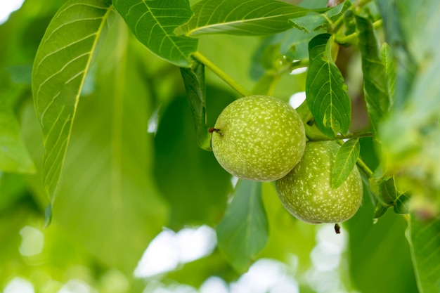 Two green walnut growing on a tree branch close up