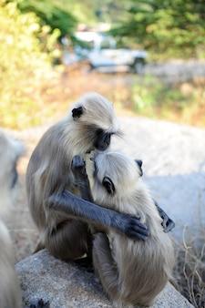 2つの灰色のラングールは岩の上に座って、お互いの世話をします。野生動物。猿のラングールインディアンハヌマーン正貨、クローズアップ