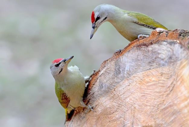 로그에 두 개의 회색 딱따구리입니다. 새의 삶과 행동에서 흥미롭고 특이한 순간.