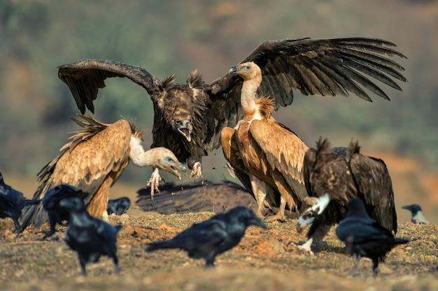 Два белоголового сипа (gyps fulvus и cinereous vulture (aegypius monachus)