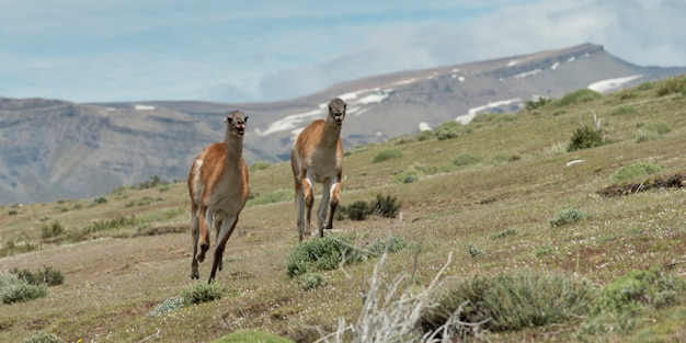 Two guanaco (lama guanicoe) running in a field, torres del paine national park, patagonia, chile