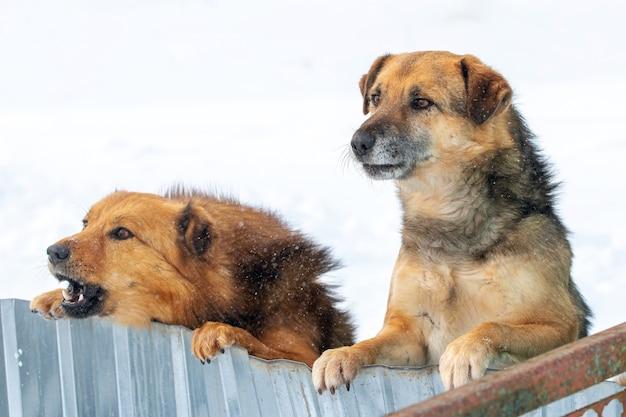 冬の柵のせいで2匹の番犬が後ろ足で立っている。面白い面白い動物