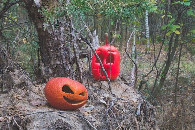 Two halloween pumpkins in the autumn forest on an old stump and pile of needles from christmas trees