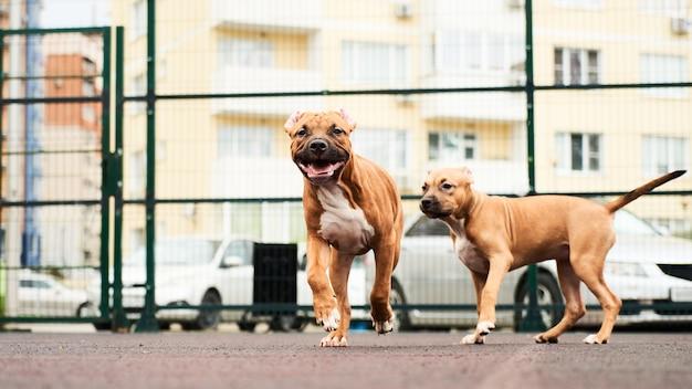 Два счастливых щенка американского стаффордширского терьера на прогулке