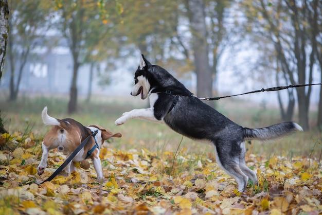 Две счастливые собаки-бигль и сибирский хаски бегают и играют в осеннем парке
