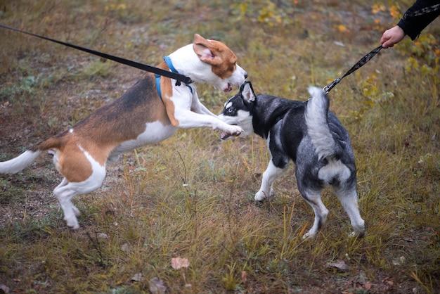 Две счастливые собаки, бигль и сибирский хаски играют в осеннем парке