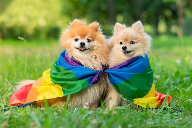두 명의 행복한 친구 포메라니안 스피츠 개는 여름에 혀를 내밀고 웃고 있는 무지개 lgbt 색상 깃발에 풀밭에 누워 있습니다. 게이 프라이드 동물. 동성애 관계와 트랜스젠더 지향 개념
